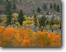 Stock photo. Caption: Aspens and Jeffrey pines Little Walker River Valley Toiyabe National Forest Sierra Nevada,  California -- forests united states america mountains range ranges sierras highcountry  alpine fall color autumn colors sagebrush mixed conifer conifers landscape landscapes scenic scenics country orange eastside eastern