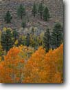 Stock photo. Caption: Aspens and Jeffrey pines Little Walker River Valley Toiyabe National Forest Sierra Nevada,  California -- aspen pine tree trees fall autumn color colors forests united states america mountains range ranges sagebrush woodland woodlands country eastside eastern balance scenics scenic