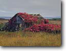 Stock photo. Caption: Rose-covered shack   north of Fort Bragg Mendocino County California -- united states america seascape seascapes headlands pacific ocean coast west rural flowers wildflower wildflowers spring roses rose wild shacks foggy covered climbing nostalgia nostalgic building buildings crumbling caving decaying