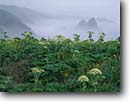 Stock photo. Caption: Cow Parsnip   above Cuffy Cove Mendocino County California -- united states america seascape seascapes headlands pacific ocean coves coast west seastacks rural travel tourist destination destinations flowers wildflower wildflowers heracleum lanatum parsnips foggy mist misty landscape landscapes scenic scenics calm