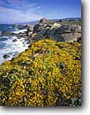 Stock photo. Caption: Coast goldfields on Salt Point Salt Point State Park Sonoma County California -- united states america landscape landscapes coast coasts west pacific coastline coastlines shoreline shore shorelines parks spring waves surf rocky headlands headland cliffs rugged Lasthenia yellow flowers flower wildflower wildflowers seascape seascapes