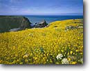 Stock photo. Caption: Wild mustard Iverson Point Mendocino County California -- united states america landscape landscapes coast coasts west pacific coastline coastlines shoreline shore shorelines parks summer scenic flowers flower sunny blue skies seascape seascapes yellow ocean oceans western calm seas beauty