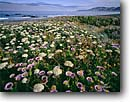 Stock photo. Caption: Seaside daisies & Henderson