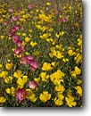 Stock photo. Caption: Clarkia and California poppies   near Clear Lake North Coast Ranges Lake County,  California -- poppy flower flowers wildflower wildflowers spring eschscholzia californica america fields carpet carpets sweet closeup closeups detail details elegance sweet gold pink