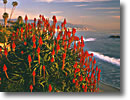 Stock photo. Caption: Tree aloe Heisler Park Laguna Beach Orange County, California -- states america surf sunset pacific ocean southern beach beaches sunny headlands palms trees islands coast seascape seascapes travel tourist destination destinations west aloes flower flowers coastal living tropical coastal seashore oceans shoreline shore