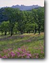 Stock photo. Caption: Padres shooting star, johnny-jump-up  and blue oaks Pinnacles National Park San Benito County, California -- Gabilan Range flowers flower wildflower wildflowers violet violets viola stars monuments county south coast range ranges tree trees pedunculata landscape landscapes dodecatheon states america clevelandii pastel pastels meadow meadows woodland easter sunny