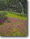 Stock photo. Caption: Padres shooting star, johnny-jump-ups  and blue oaks Pinnacles National Park San Benito County,  California -- Gabilan Range flowers flower wildflower wildflowers viola stars monuments south coast range ranges tree trees pedunculata landscape landscapes dodecatheon clevelandii pastel pastels woodland woodlands sweet easter spring meadow meadows inviting soft quiet