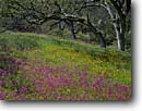 Stock photo. Caption: Padres shooting star, Johnny-jump-up and blue oaks Pinnacles National Park San Benito County, California -- tree trees united states america monuments landscape landscapes gabilan range south coast ranges spring verdant dodecatheon clevelandi viola pedunculata stars violets violet foothill foothills meadow meadows sweet soft desire quiet flowers flower lush
