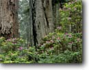 Stock photo. Caption: Western rhododendron and coast redwoods Last Chance Trail Del Norte Coast Redwoods State Park Del Norte County, California -- united states america west green forests trees tree foggy sempervirens spring flower flowers shrub flowering shrubs forest areas Rhododendrons parks redwood virgin forests ancient landscape landscapes scenic scenic