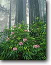 Stock photo. Caption: Western rhododendron and coast redwoods Lady Bird Johnson Grove Redwood National Park Humboldt County,  California -- foggy tree trees parks united states america mist world heritage site sites growth virgin ancient forest forests redwood spring primeval tourist travel destination destinations rhododendrons groves flowering shrubs shrub dedicated memorial named scenics