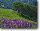 Stock photo. Caption: Riverbank lupine Schoolhouse Peak Redwood National Park Humboldt Co., California -- lupines parks redwoods states pacific flower flowers wildflower wildflowers prairie prairies valleys spring landscape coast coastal world heritage site sites lupinus rivularis north coast ranges meadow meadows pastoral  landscapes scenics scenic views
