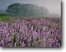 Stock photo. Caption: Riverbank lupine and Oregon oak Schoolhouse Peak Bald Hills Road,  Redwood National Park Humboldt County,  California -- lupines parks coastal fog foggy united states pacific flowers wildflower wildflowers oaks prairie prairies hill valleys spring united states america world heritage site sites lupinus rivularis meadow meadows purple habitat habitats abundance pastoral