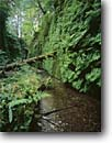 Stock photo. Caption: Fern Canyon Prairie Creek Redwoods State Park Humboldt County California -- united states america west green forests trees tree foggy spring forest areas redwood canyon landmark landmarks hiking trail trails icon icons ferns lined creek creeks famous rivers river