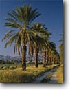Stock photo. Caption: Date Palms   and Little San Bernardino Mountains Coachella Valley near Indio California -- palm agriculture farm farms farming desert deserts sonoran spring desert united states america southwest bountiful warm country lane lanes road roads dirt southern sunny blue skies clear trees tree landscape landscapes scenic scenics views fruit