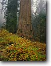 Stock photo. Caption: Mountain dogwood and giant sequoia Giant Forest Sequoia National Park Sierra Nevada,  California -- redwoods fall autumn forests tree trees foggy misty sierras parks sequoias states america sequoiadendron gigantia ancient Western balanced travel tourist destination destinations virgin growth ancient primeval strength trunk pacific giganteum landscapes