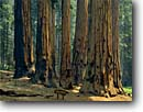 Stock photo. Caption: The Senate Group of giant sequoias Giant Forest Sequoia National Park Sierra Nevada,  California -- sequoia redwoods summer forests tree trees sunny sierras parks states sequoiadendron giganteum ancient travel tourist destination destinations virgin growth massive tower towering grove groves time wisdom majestic fire scarred eternal family named