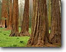 Stock photo. Caption: Giant sequoias in Round Meadow Giant Forest Sequoia National Park Sierra Nevada,  California -- sequoia redwoods summer forests tree trees foggy mist misty meadow meadows sierras parks united states sequoiadendron gigantia ancient balance balanced landscapes travel tourist destination destinations virgin growth giganteum named groves grove massive