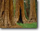 Stock photo. Caption: Giant sequoias Giant Forest Sequoia National Park Sierra Nevada,  California -- redwoods summer forests tree trees meadows sierras parks united states sequoiadendron gigantia ancient balance balanced landscapes travel tourist destination grove groves america american destinations virgin growth tall trunks roots giganteum massive wall