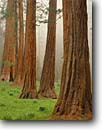 Stock photo. Caption: Giant sequoias in Round Meadow Giant Forest Sequoia National Park Sierra Nevada,  California -- redwoods summer america trunk tree trees foggy meadow meadows sierras parks states sequoiadendron gigantia ancient balance balanced travel tourist destination destinations virgin growth massive tower towering grove groves giganteum large elegant elegance