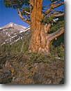 Stock photo. Caption: Sierra juniper below Rainbow Peak Mineral King Sequoia National Park Sierra Nevada,  California -- united states america summer highcountry backcountry landscape landscapes forests west mountain mountains peaks trees pristine old tree sierras gnarly spring summer