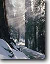Stock photo. Caption: Giant sequoias in Giant Forest The Generals Highway Sequoia National Park Sierra Nevada, California -- tree trees united states america forest forests landscapes landscape snow snowy covered winter freezing sierras cold bright clean snowfall fresh destination destinations scenics scenic road roads sunbeams sunbeam redwoods redwood parks sequoia parks