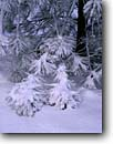 Stock photo. Caption: Ponderosa pine boughs Fresno River Flats Sierra Nevada Madera County,  California -- united states america american artistic nature snow snowy winter sierras tree trees winter pinus wintery fresh snowfall snowfalls detail details cold freeze freezing