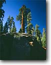 Stock photo. Caption: Giant sequoia Freeman Creek Grove Giant Sequoia National Monument Sierra Nevada,  California -- trees sierras parks sequoiadendron gigantia ancient travel tourist destinations virgin growth massive giganteum sequoias scenics sunny landscapes landscape soarning blue skies groves tree forests forest tall scenic views monuments clear bulk hulk large
