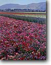 Stock photo. Caption: Sweet pea fields   near Lompoc Santa Barbara County,  California -- farming farm united states america rural agriculture pastoral bountiful foothills spring flowers commercial seed seeds crop crops field florist peas flower sunny flower growing colorful
