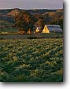 Stock photo. Caption: Artichoke fields and Casmalia Hills Corralitos Canyon,  Point Sal Road Santa Barbara County California -- barn barns small united states america agriculture artichokes farming fields farms field thistle thistles agricultural crop crops commercial spring bounty bountiful vegetable vegetables food ranches building buildings clear sunny fields fields scenics