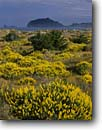 Stock photo. Caption: Yellow bush lupine on Clam Beach Little River State Beach and Trinidad Head Humboldt County, California -- beaches parks seastacks pacific ocean coast seastack west coasts seascape seascapes travel tourist destination destinations headland headlands shoreline shorelines coastal spring lupines landscape landscapes scenic sunny clear skies beaches western west