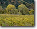 Stock photo. Caption: Vineyards, cottonwoods and oaks Highway 101 Russian River Valley Mendocino County,  California -- wine country autumn fall rural crops grape grapes hills ranges agriculture vine vines countryside beauty farming farm rural pastoral bountiful tourist destination destinations rows vineyard region regions famous scenic scenics growing landscapes