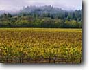 Stock photo. Caption: Vineyards and coast redwoods Westside Road Russian River Valley Sonoma County,  California -- wine country autumn fall rural crops grape grapes states america agriculture vine vines countryside beauty farming farm rural pastoral united tourist destination destinations redwood tree vineyard region regions famous scenic scenics growing landscapes
