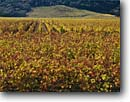 Stock photo. Caption: Vineyards along Highway 29 Napa Valley near Yountville Napa County California -- wine country autumn fall rural crops grape grapes states america agriculture vine vines countryside beauty farming farm rural pastoral united tourist destination destinations vineyard region regions famous scenic scenics growing landscapes landscape