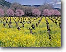 Stock photo. Caption: Mustard and plum in vineyards    near Calistoga Napa Valley Wine District Napa County,  California -- wine country spring rural crops grape grapes agriculture vine countryside  farming farm united states america rural pastoral bountiful  getaway tourist destination destinations landscape landscapes rows vines rows artistic winery nature vineyard balance