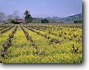 Stock photo. Caption: Mustard in vineyards Silverado Trail Napa Valley Wine District Napa County,  California -- wine country spring rural crops grape grapes agriculture vine countryside beauty farming farm united states america rural pastoral bountiful  getaway tourist destination destinations landscape landscapes rows vines building buildings sunny winery