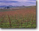 Stock photo. Caption: Vineyards in winter   in Carneros Valley near Napa Napa Valley Wine District Napa County,  California -- wine country spring rural crops grape grapes agriculture vine countryside beauty farming farm united states america rural pastoral bountiful getaway tourist destination destinations landscape landscapes rows vines building buildings sunny winery