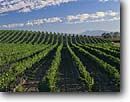 Stock photo. Caption: Vineyards in summer   in Carneros Valley near Napa Napa Valley Wine District Napa County,  California -- country spring rural crops grape grapes agriculture vine countryside beauty farming farm united states america rural pastoral bountiful getaway tourist destination destinations landscape landscapes rows vines sunny winery sunny rows