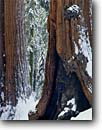 Stock photo. Caption: Giant sequoias Tuolumne Grove Yosemite National Park Sierra Nevada, California -- sequoiadendron gigantia tree trees forest forests groves mountains snow snowfall winter redwoods america world heritage site sites ancient large strength cold wintery fire scarred tough virgin growth landscapes landscape giganteum redwood sequoia