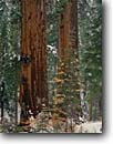 Stock photo. Caption: Giant sequoias Toulumne Grove Yosemite National Park Sierra Nevada,  California -- sequoias redwoods forests tree trees sierras parks sequoiadendron gigantia ancient travel tourist destination destinations virgin massive tower towering groves america power strength giganteum redwood sequoia snowfall fall autumn snow fresh landscapes