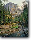 Stock photo. Caption: Mountain dogwood, Merced River   and El Capitan, Yosemite Valley Yosemite National Park Sierra Nevada,  California -- rivers granite dome domes leaves fall autumn parks world heritage site sites mountains united states america landscape landscapes pristine tourist travel destination destinations dogwoods cornus nuttallii western pacific landmarks landmark scenic scenics
