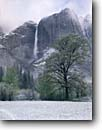 Stock photo. Caption: Black Cottonwoods and Upper Yosemite  Falls,  Yosemite Valley Yosemite National Park Sierra Nevada,  California -- creek creeks granite spring parks world heritage site sites mountains united states america landscape landscapes pristine travel tourist attraction attractions waterfall waterfalls glacially carved valleys snow snowfall clearing storms inspiring vast
