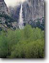 Stock photo. Caption: Willows and black cottonwoods Upper Yosemite Falls,  Yosemite Valley Yosemite National Park Sierra Nevada,  California -- creek creeks granite spring parks world heritage site sites mountains united states america landscape landscapes pristine travel tourist attraction attractions waterfall waterfalls glacially carved valleys clearing storms oaks sheer sierras fresh american