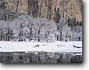 Stock photo. Caption: Black oaks,  Merced River and base   of El Capitan,  Yosemite Valley Yosemite National Park Sierra Nevada,  California -- united states america parks world heritage site sites sierras tourist travel destination destinations family vacation snow snowy winter reflection reflections Quercus kelloggii tree trees landscape landscapes snowfall snowfalls fresh