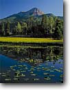 Stock photo. Caption: Yellow pondlily   and Engineer Mountain San Juan Mountains Rocky Mountains,  Colorado -- america reflection peak peaks tranquil forests reflections mountains calm majestic landscape landscapes divide rockies ponds pond pondlilies summer meadow meadows landmark landmarks sunny clear blue skies summer high scenics Nuphar lutea  polysepala