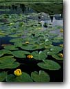 Stock photo. Caption: Yellow pondlily, Molas Divide San Juan National Forest San Juan Mountains Colorado -- rocky forests pond ponds lilies subalpine flowers wildflower wildflowers united states america summer water nuphar lutea  landscape landscapes polysepala flower detail reflections reflection water scenics scenic