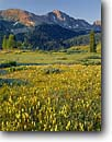 Stock photo. Caption: Yellow paintbrush and Snowdon Peak   from Molas Pass San Juan Mountains Rocky Mountains,  Colorado -- rocky forests subalpine flowers wildflower wildflowers summer landscape landscapes flower detail  scenics scenic sunny clear blue skies high country highcountry yellow scenic scenics castilleja occidentalis meadow meadows carpets summitt summit