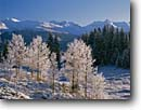 Stock photo. Caption: Aspen & Colorado blue spruce   from Molas Summit San Juan Mountains Rocky Mountains, Colorado -- cold clear winter snow bare snowy wintery southwest southwestern united states america landscape landscapes pristine peaks freezing frozen sunny clear blue skies scenics scenic snowcapped first snowfall early  scenes trees tree frigid