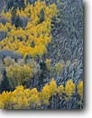 Stock photo. Caption: Aspens and avalanche, Lime Creek Canyon San Juan National Forest San Juan Mountains Rocky Mountains,  Colorado -- aspens spruces tree trees fall autumn color forests united states mountains rocky rockies gravity windfall avalanches result fallen contrast weather phenomena scenics scenic images foliage nature ecology evolution environment enviromental