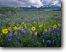 Stock photo. Caption: Arrowleaf balsamroot & mountain lupine Wilson Peak and Mt. Wilson Uncompahgre National Forest San Miguel Mountains,  Colorado -- united states america landscape landscapes scenic scenics scene distance view views vista vistas mountain Balsamorhiza sagittata Lupinus argenteus silvery silver lupins lupines forests meadow wildflowers wildflower sunflower sunflowers summer