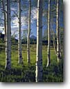 Stock photo. Caption: Aspens and Mt. Sneffels San Juan Mountains Uncompahgre National Forest Rocky Mountains,  Colorado -- tree trees forests united states america mountain rockies landscape landscapes mountain trees rockies juans  peaks peak meadows meadow mount spring trunks white clean sunny clear scenics scenic peaks peak